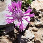 Yama Dağı'nda Yeni Bir Peygamber Çiçeği Türü Keşfedildi
